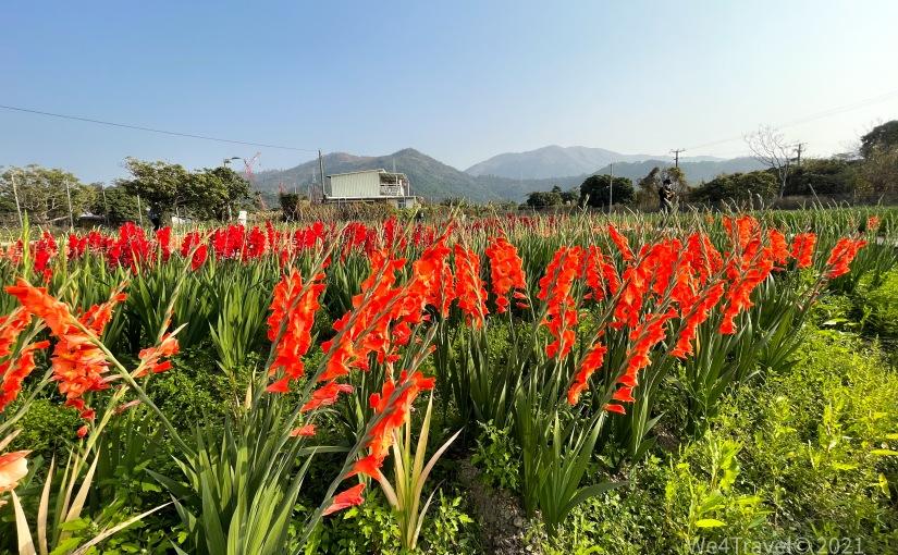 【信芯園】粉紅百合花海|紫藤花隧道打卡| 親身支持本地農場買年花|
